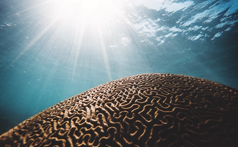 Coral pattern underwater that looks like a brain.